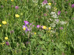 Muker meadows, flowers, wildlife (12)