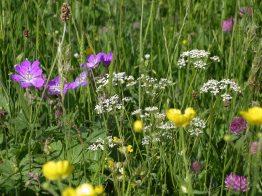 Muker meadows, flowers, wildlife (13)