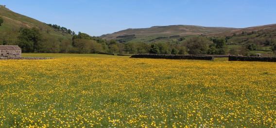 Muker meadows, flowers, wildlife (17)