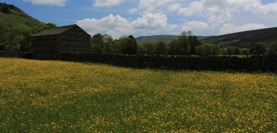 Muker meadows, flowers, wildlife (33)