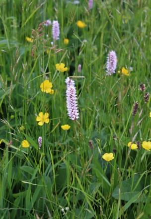 Muker meadows, flowers, wildlife (40)