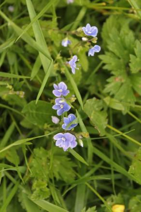 Muker meadows, flowers, wildlife (41)