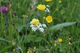 Muker meadows, flowers, wildlife (43)