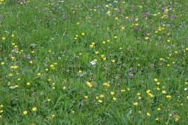Muker meadows, flowers, wildlife (45)
