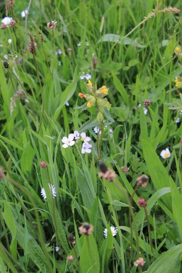 Muker meadows, flowers, wildlife (46)