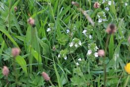 Muker meadows, flowers, wildlife (47)