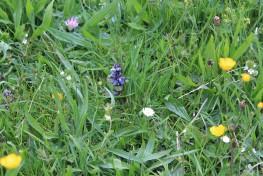 Muker meadows, flowers, wildlife (49)