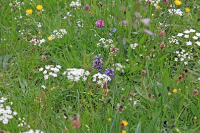 Muker meadows, flowers, wildlife (50)