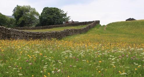 Muker meadows, flowers, wildlife (51)