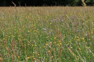 Muker meadows, flowers, wildlife (58)