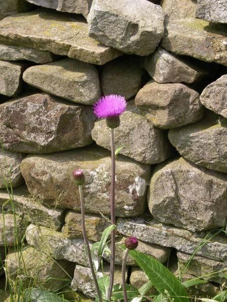 Muker meadows, flowers, wildlife (63)