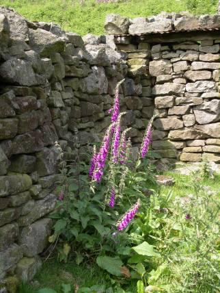 Muker meadows, flowers, wildlife (65)