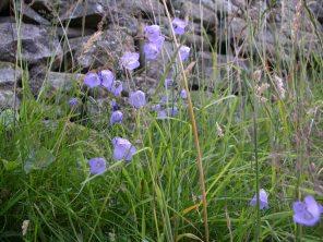Muker meadows, flowers, wildlife (68)