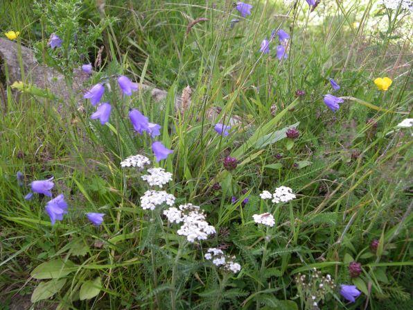 Muker meadows, flowers, wildlife (69)