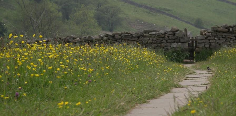 Muker meadows, flowers, wildlife (75)