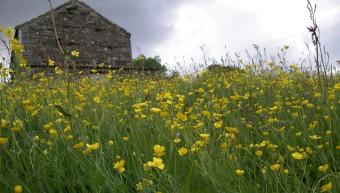 Muker meadows, flowers, wildlife (77)