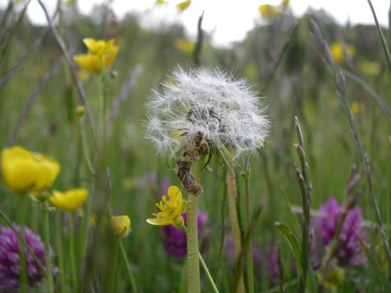 Muker meadows, flowers, wildlife (78)