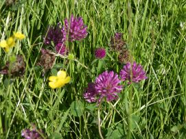 Muker meadows, flowers, wildlife (81)