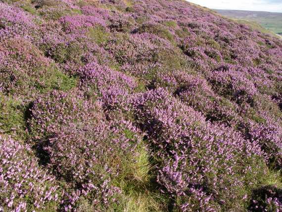 Muker meadows, flowers, wildlife (84)