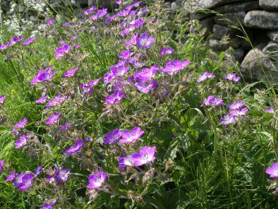 Muker meadows, flowers, wildlife (87)